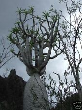 20 Pachypodium lamerei PALMA DEL MADAGASCAR semi BAOBAB